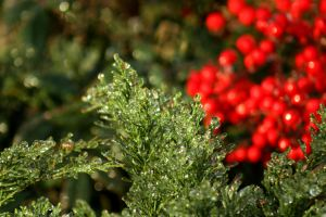 Icy sheen on Junipers