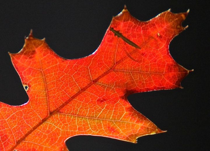 """A volunteer Red Oak shows off it true colors (and """"that"""" bug sure gets around)...."""