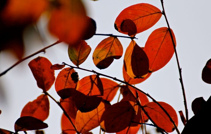 Crapemyrtle fall color....