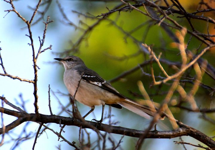 If I remember right, this is that chirping Mockingbird that usually wakes up before me each day....