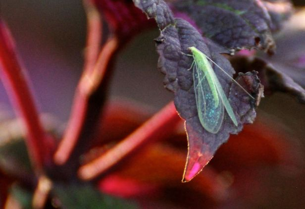 """That"" bug on the Coleus...."
