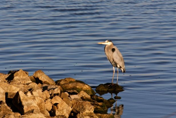 My Heron buddy was waiting for me...again