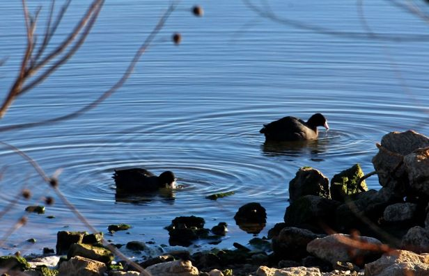 Coots making ripples along the shoreline....