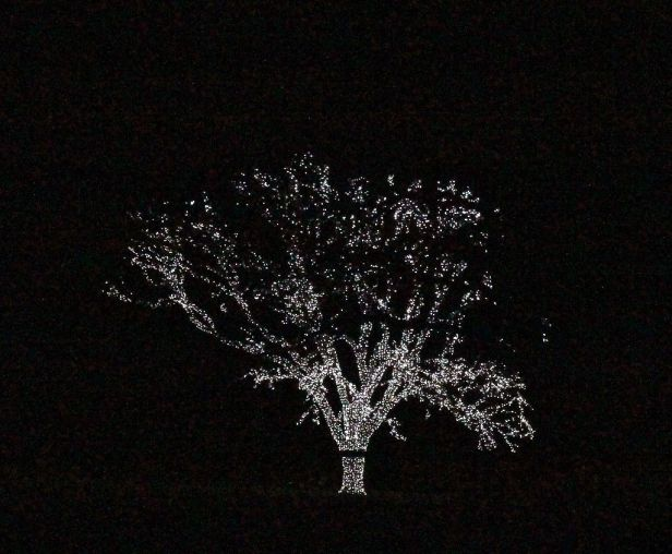 I could see this from 1/2 mile away...I came upon a lone tree shining brightly with thousands of lights. This lone pasture shade tree, on a moonless night, is so keenly lighted with amazing detail...I really needed my tripod.