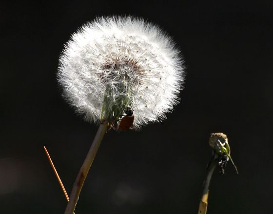 Yup, that's a lady bug on that pesky backyard dandelion....