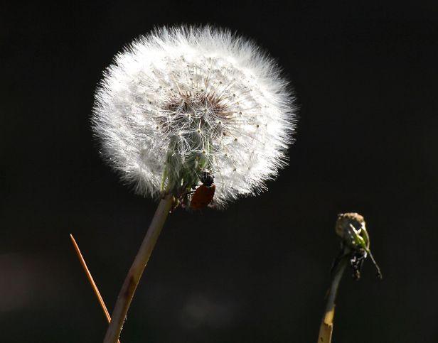 Yup, that's a lady bug on that pesky backyard dandelion....