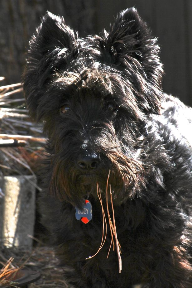 I'm thinking Zoey should have snow balls hanging from her beard this time of year instead of pine needles....
