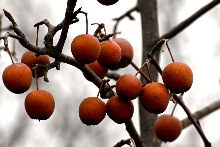 I wanna say these are native persimmon, but don't hold me to it....