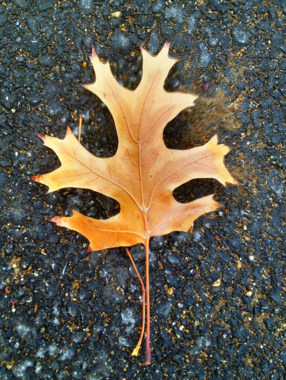 OK, so this Red Oak leaf is more an environmental season than that of Christmas....but Zoey found it as interesting as me on our morning walk.