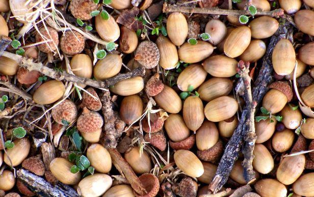 Live Oak acorns