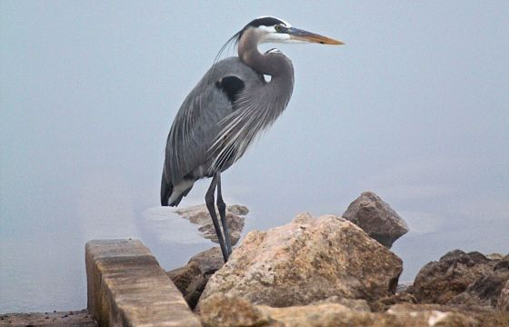 The blue Blue Heron friend