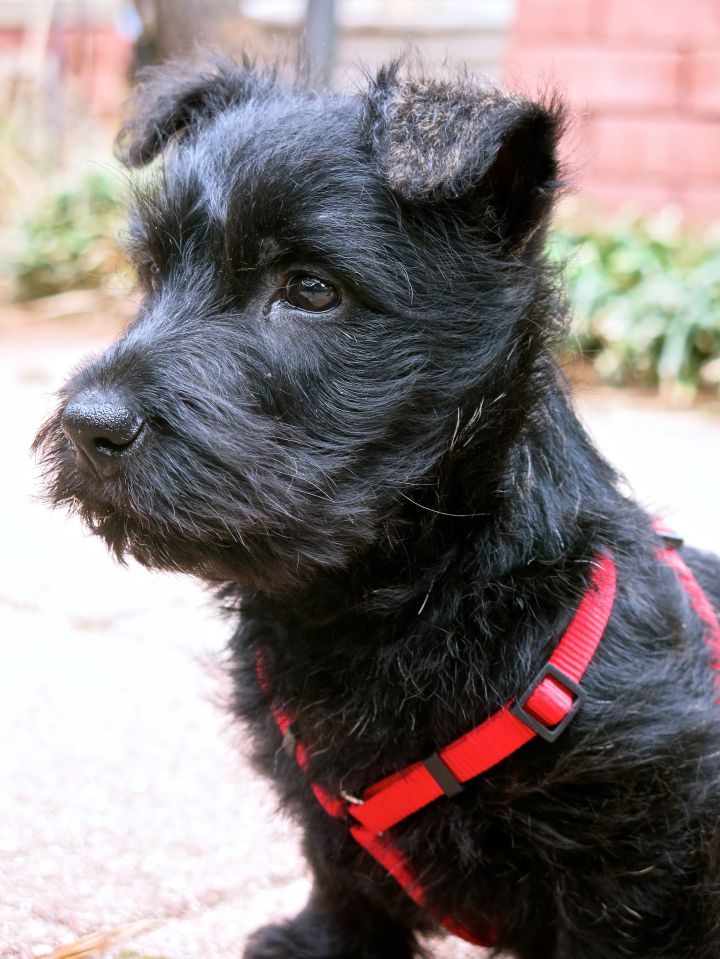 "I realize this is my third post of the little Scottie, but he's so dag-gum fun...the FD thinks we ought to refer to him as ""Prince of Peat"" - for the time being, we're just calling him ""Peaty""...."