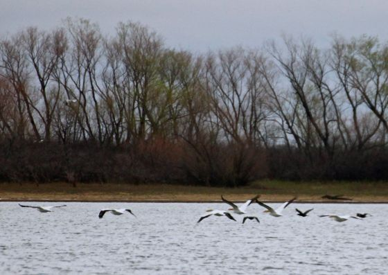 Pelicans in flight...one day I will get close enough to focus on their eyes....