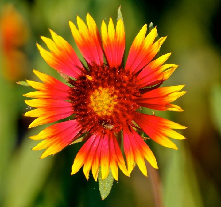 "Another Indian Blanket - some also call this ""Firewheel"". Both, In think, are appropriately named"