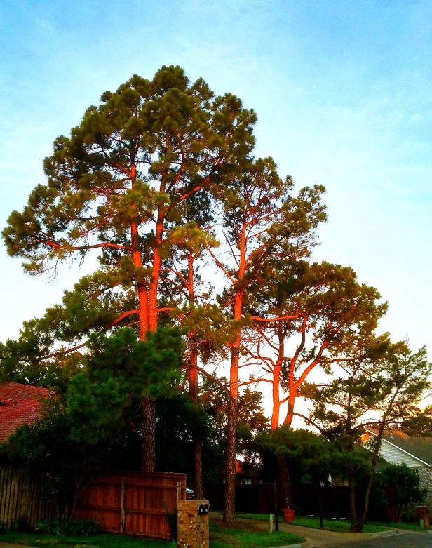 The wonderfully warm glow of a sunrise on the neighbor's pine trees....