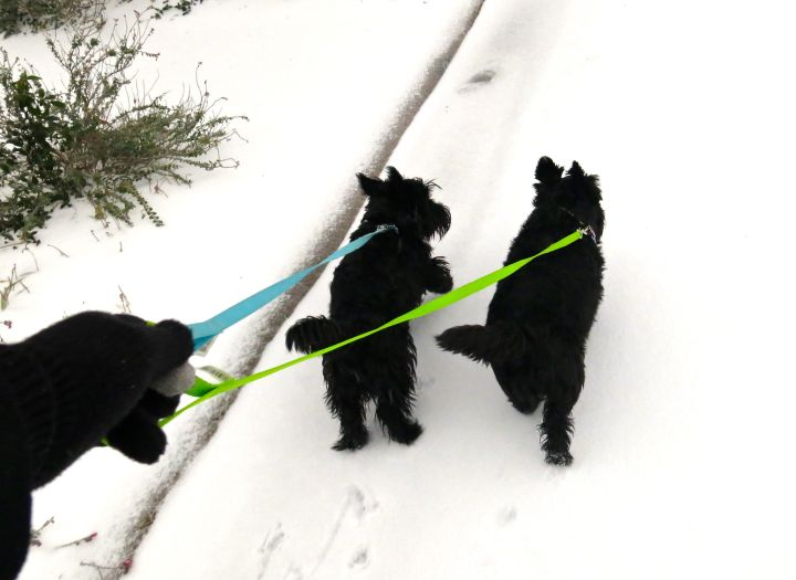 The Royal Scotties loved the ice (some snow), thinking they were Alaskan Huskies or something….