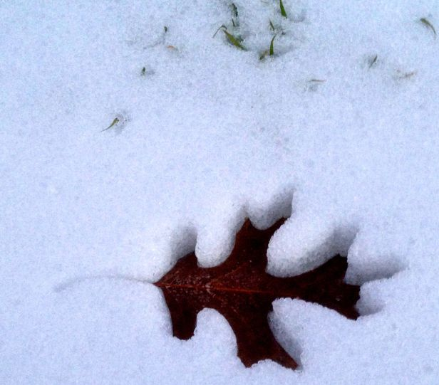 As the temperatures rose a bit, the Red Oak leaves sunk….