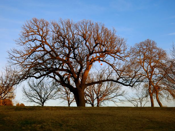 While walking one of the trail designs done in 2013, I happened upon these 2 wonderful oak tree silhouettes….