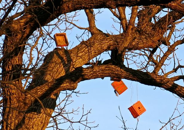 But only a few of the dangling bird houses way up in this tree...