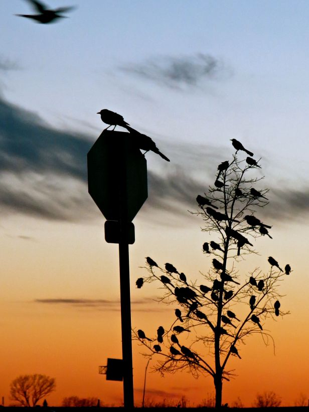 (damn those) Grackles on a sign post….