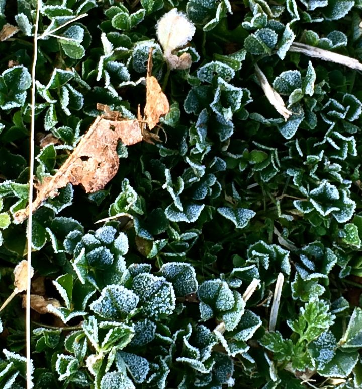 "Ugggh! Why do weeds look so ""cool"" with a thin layer of frost on them?"