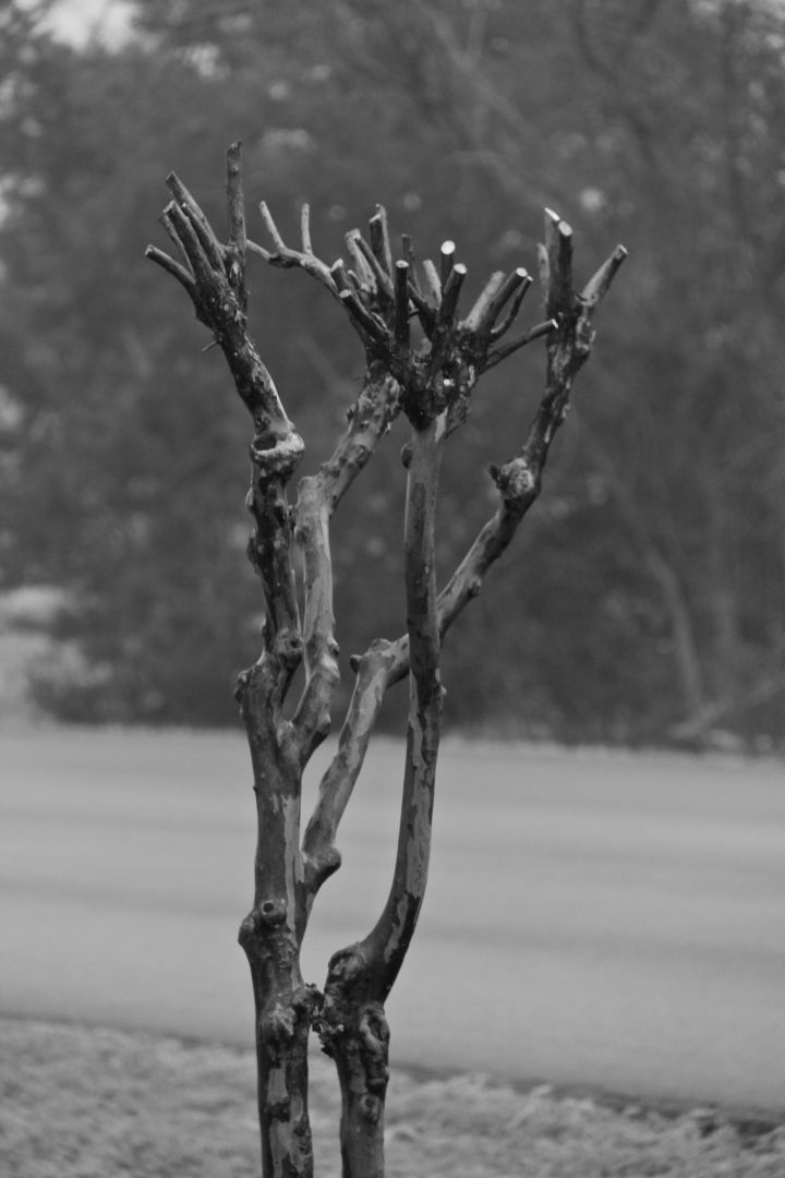 OK, so this poor Crapemyrtle can claim to be shape-less after such a dramatic pruning….