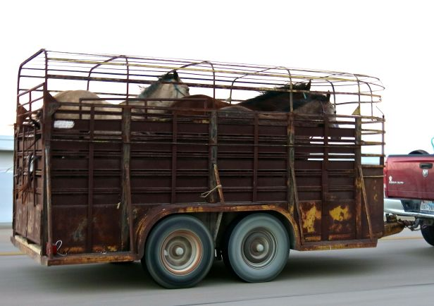 Is it me, or does it appear these three horses are in the thick of a race despite their obviously caged limitations….
