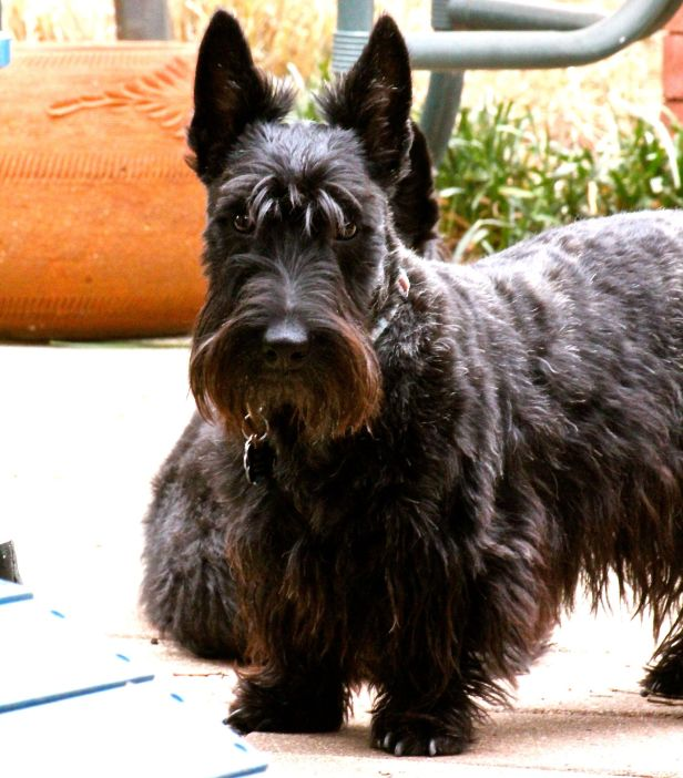 The handsome but ornery Prince of Scots, Prince Peaty…now 15 months old