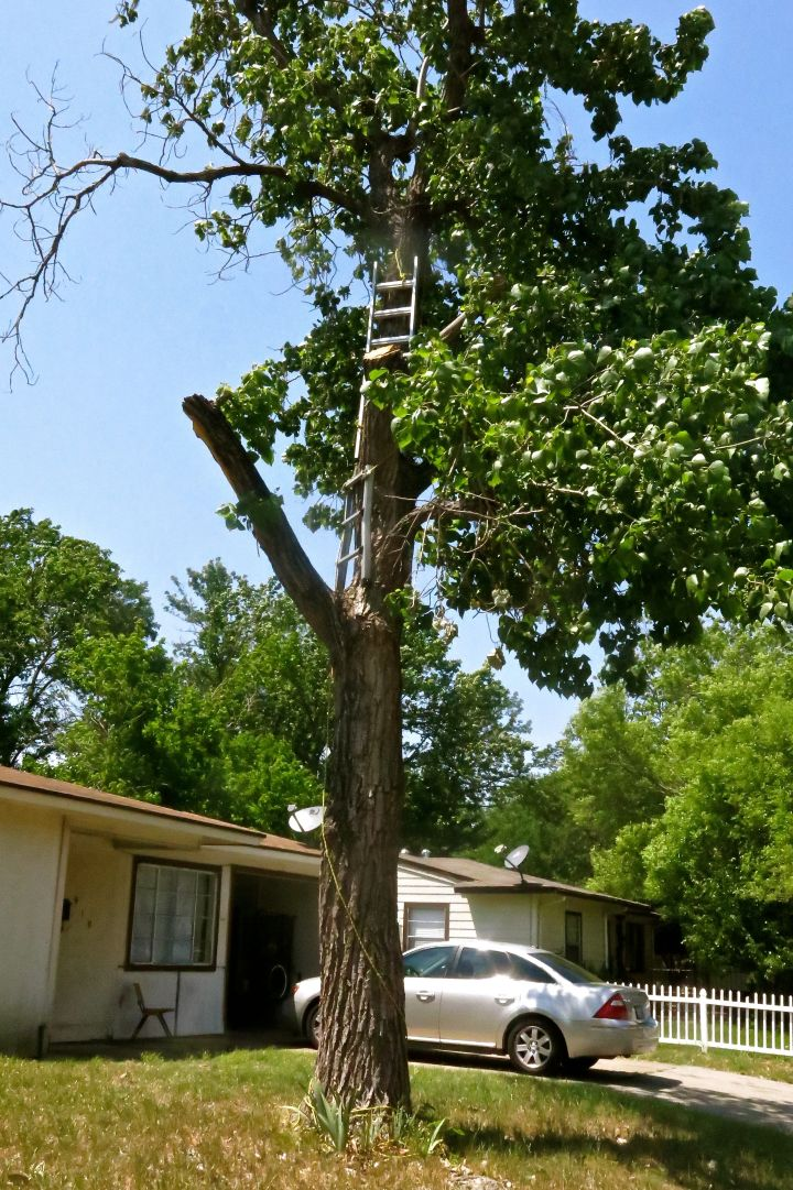 Yes, you are seeing this right. There are ladders strapped to the trunk of the tree so that the homeowner could apparently prune (or should I say 'whittle') this poor Cottonwood tree.