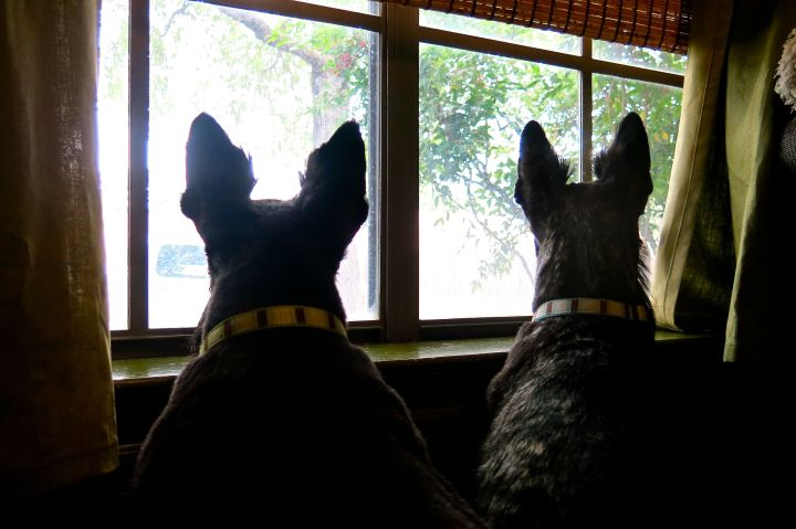 The Royal Scotties stand guard over the front yard, trying to scare all the wild critters away with nothing more than a high-pitched, ear piercing bark..and perky ears.