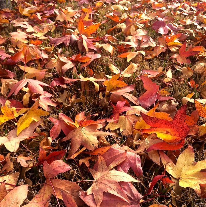The north winds of this week's cold front ruined the Sweetgum carpet….